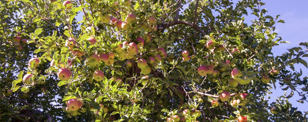 KC Fall Festival 2015 - Apples